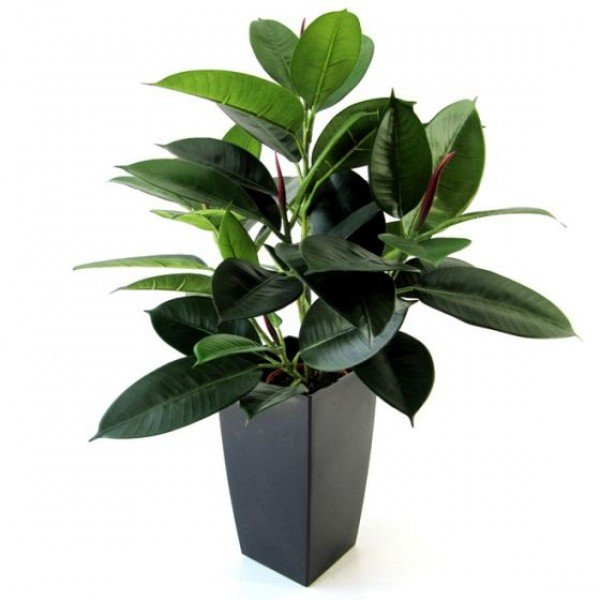 Philodendron windowplant 50cm in pot 3