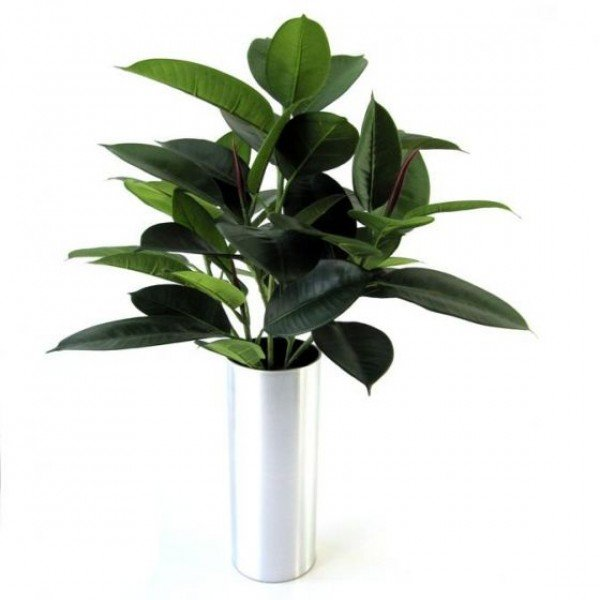 Philodendron windowplant 50cm in pot 6