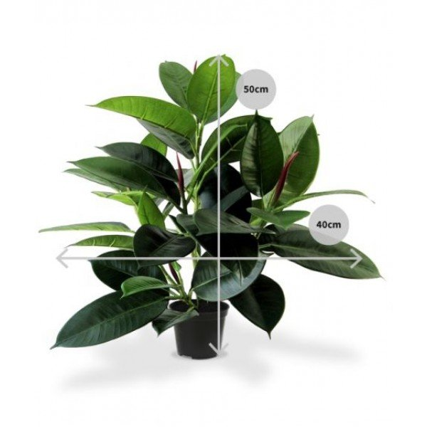 Philodendron windowplant 50cm in pot 7